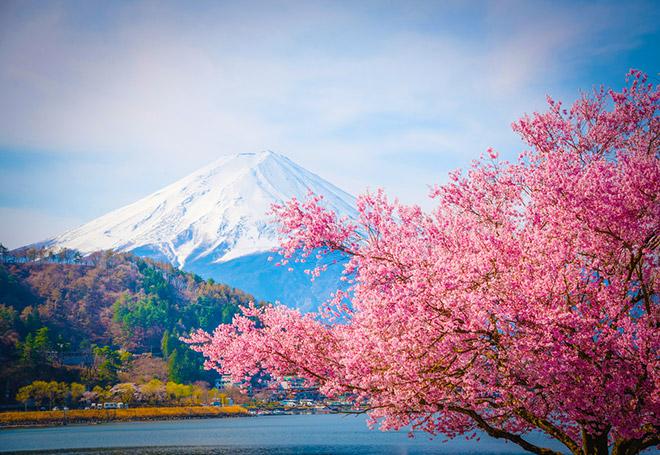 В Японии зацвела сакура.