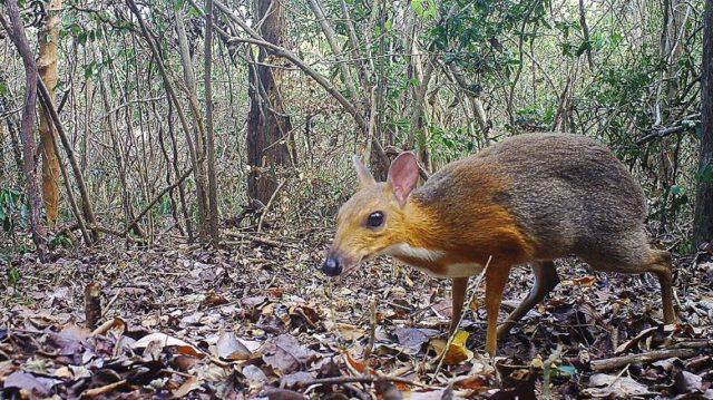 https://nnst1.gismeteo.ru/images/2019/11/191111160226-mouse-deer-vietnam-found-exlarge-169-640x359.jpg