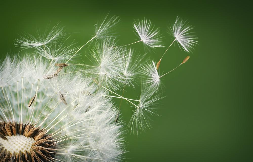прихода летят семена одуванчика фото просьба брать