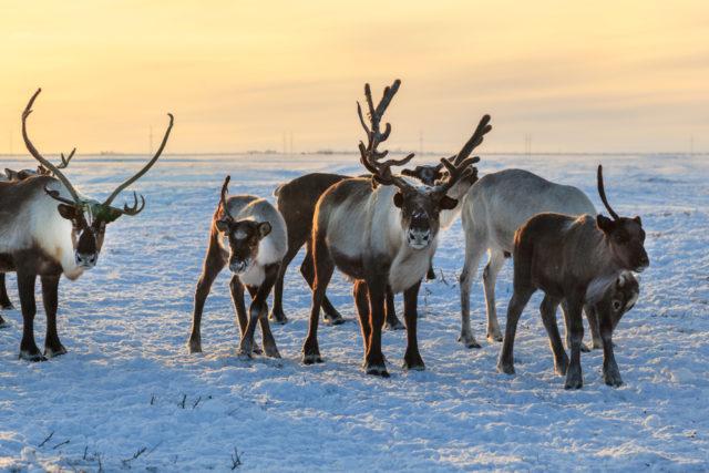 Почему северные олени меняют цвет глаз накануне Рождества? - фото 3