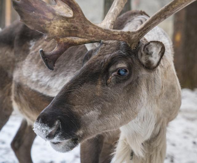 Почему северные олени меняют цвет глаз накануне Рождества? - фото 2